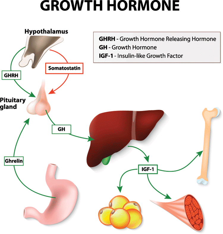 Best HGH Supplement Human Growth Hormone