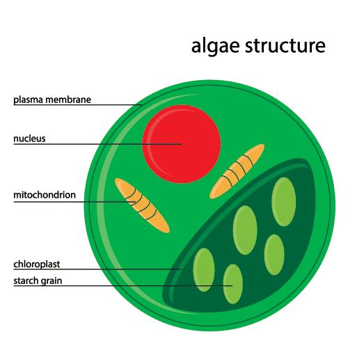 -algae-structure