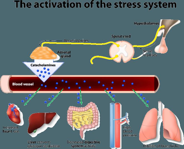 stress adrenals